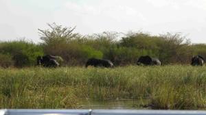 sloni v řece Kwando