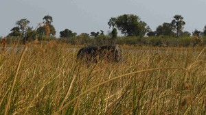 hroch deltě Okawango